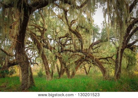 A group of live oaks. Taken in Florida.