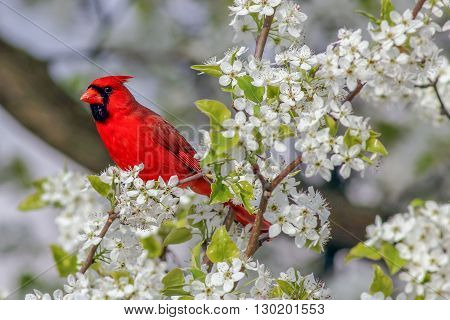 A Northern Cardinal perched in a blooming tree. Taken in Kentucky.