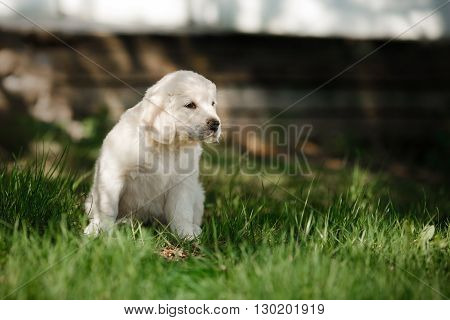 Little puppy Golden retriever puppy sitting in the summer park