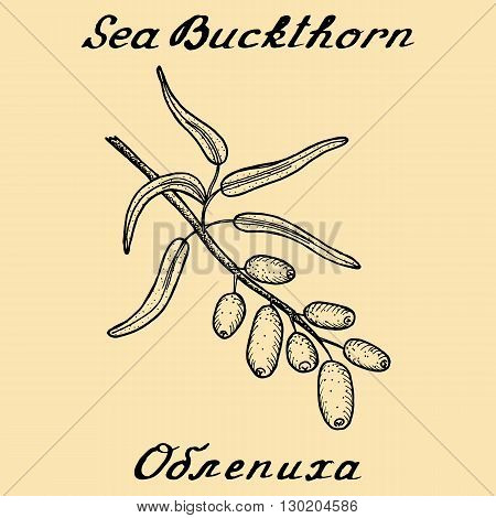 Sea buckthorn. Vector ink drawing and hand-lettering. In English and Russian texts. Eco Friendly. For labels flyers online stores. Natural cosmetic. Bio products. Food spices
