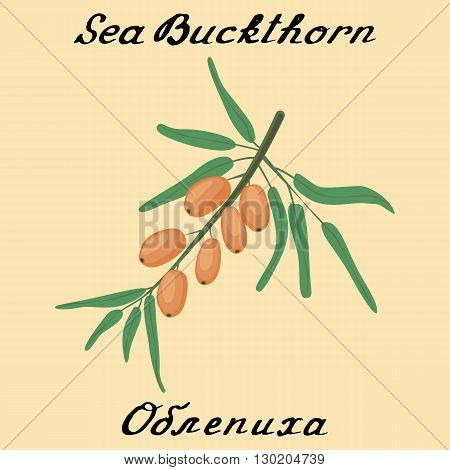 Sea buckthorn. Vector drawing and hand-lettering. In English and Russian texts. Eco Friendly. For labels flyers online stores. Natural cosmetic. Bio products. Food spices