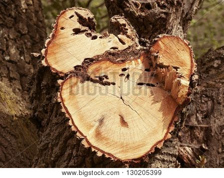 stump of tree of the trunk with annual rings