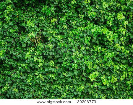 Green Creeper Background