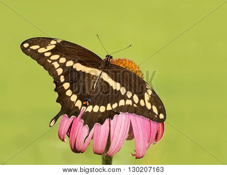 Dorsal view of a Giant Swallowtail butterfly on a Purple Coneflower, with green background