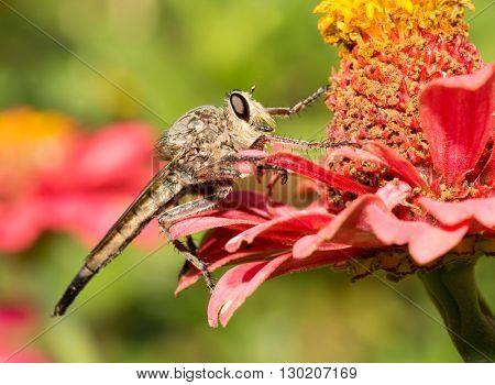Giant Robberfly resting on a Zinnia flower