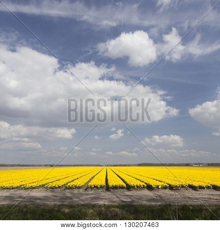 vast expance of yellow tulips in dutch flower field and blue sky with clouds