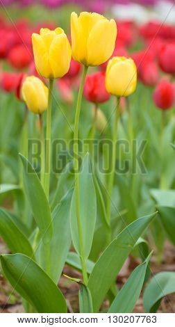 TulipYellow tulips and red tulips in spring season