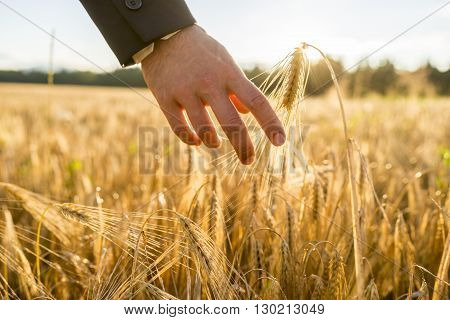 Closeup view of male hand in business suit touching a golden wheat ear growing in a field lit by a bright sun. Conceptual of environmental care and protection.