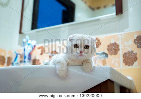 Scottish Fold kitten lying in the sink in the bathroom