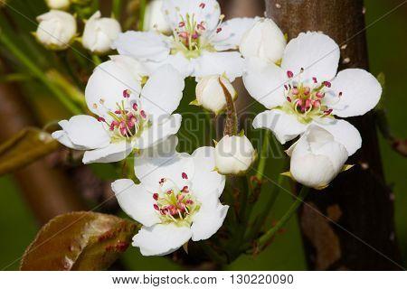 Pear-tree blossom.