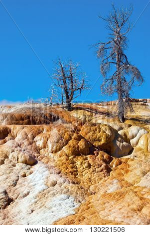 Bright colors of Palette Spring Terrace with dead trees on its top Mammoth Hot Springs