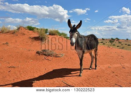 Donkey In The Desert