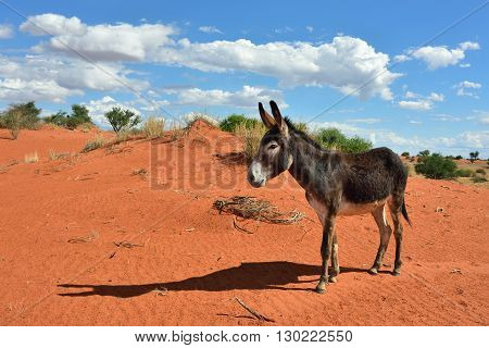Donkey in the Kalahari desert at sun down Namibia Africa