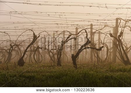 Vine trees in vineyard in early spring morning
