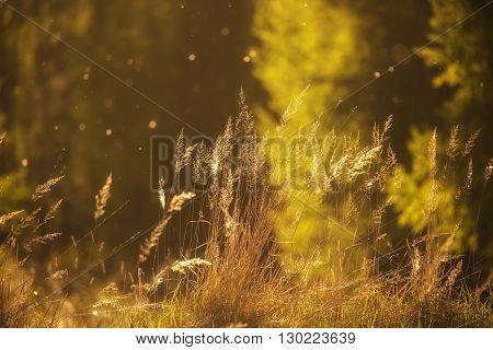 Summer grass in the golden sunset lights