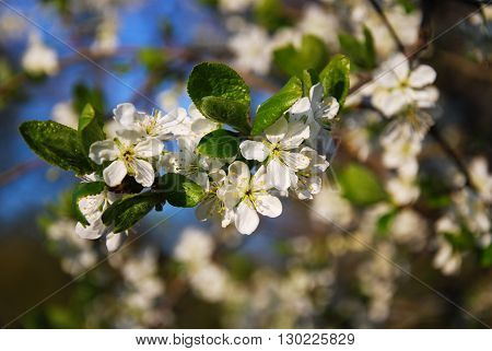 Plum tree twig with flowers at a blurred background of white flowers