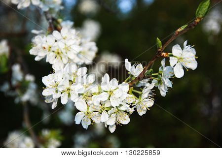 Beautiful blossom plum tree twig at the beginning of spring