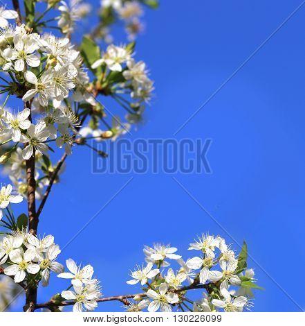 Cherry blossom on  blue  sky