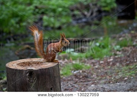 red squirrel sitting on a tree stump closeup