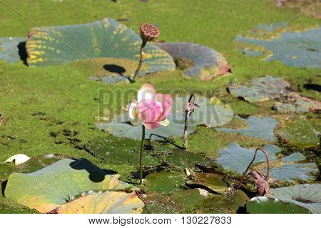 Water Lily flower in the marsh