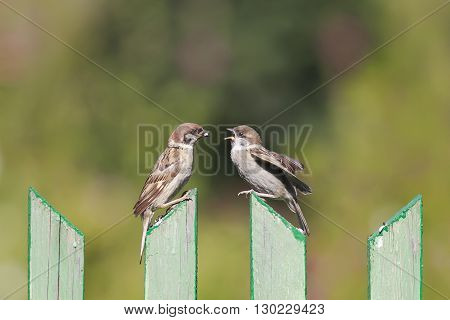 a Sparrow feeds her hungry Chicks on the old fence