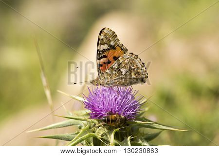Butterfly and bee on flower close up image.