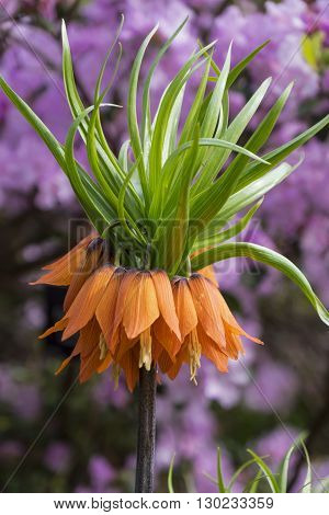 Fritillaria Imperialis Aurora, common name Crown Imperial with rhododendron background