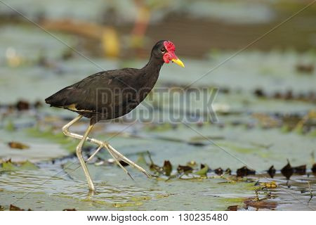 Wattled Jacana (Jacana jacana hypomelaena) using its long toes to walk on a lily pad - Panama