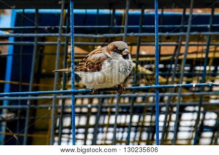 Little sparrow sits on the net fence
