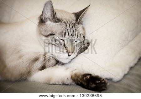 Photo of Pretty Sleeping Beige Cat