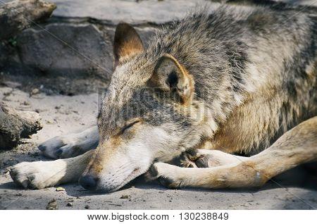 Photo of the Sleeping Single Wild Wolf