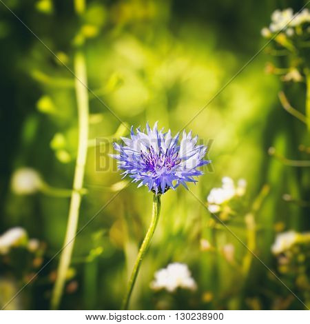 Photo of Single Cornflower at Geen Meadow