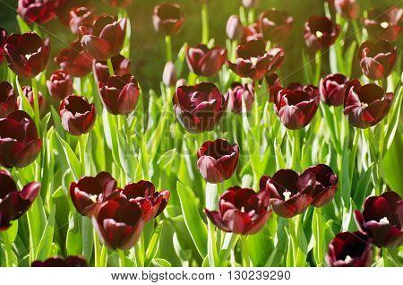 Photo of Bright Tulip Spring Field Blossom