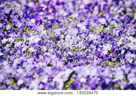 Photo of Purple Pansy Flower Bright Background