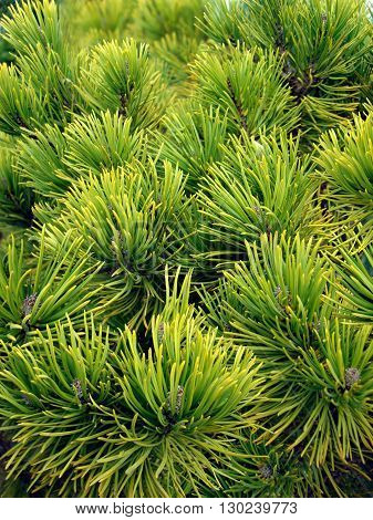 Image of fresh needle's of pine close-up