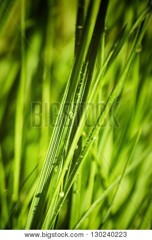 Photo of the Wet Spring Green Grass