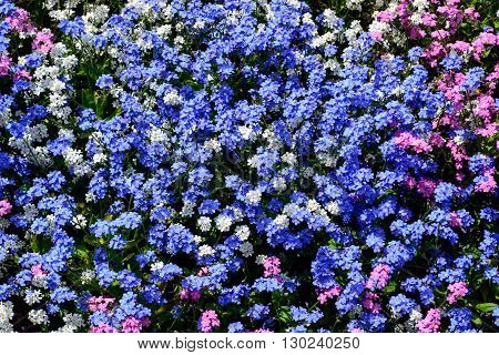 Various colors blooming forget-me-now flowers in garden