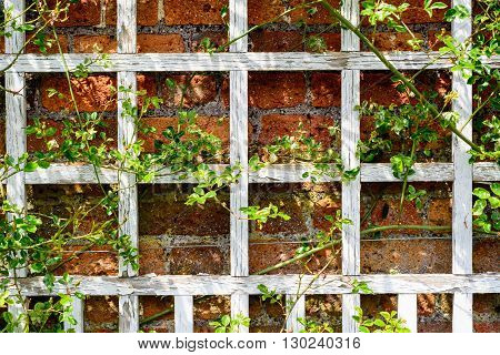 Climbing rose on old white wooden grate against red bricks