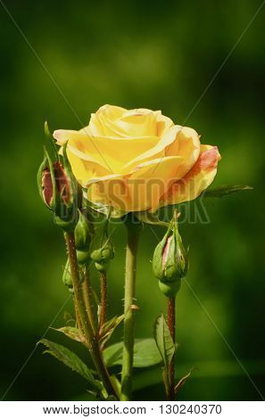 Photo of Rose Flower in Sunny Summer Day