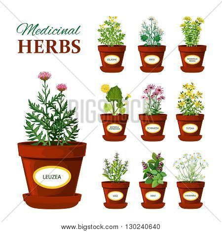 Set of medical herbs in pots with labels of leuzea sage mint mother and stepmother tutsan echinacea isolated vector illustration