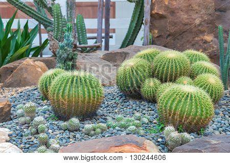 Beautiful Big Cactus In The Rock Garden