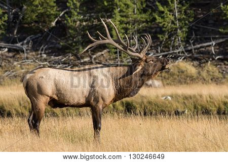 a bull elk bugling during the fall rut