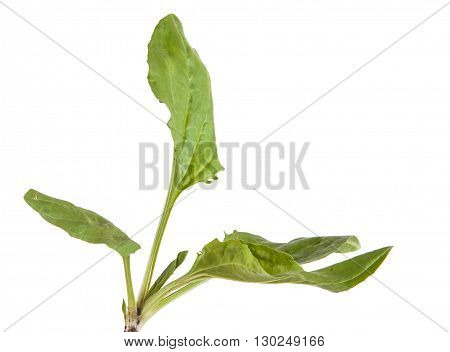 Green Leaves Of The Plantain. Isolated On White Background