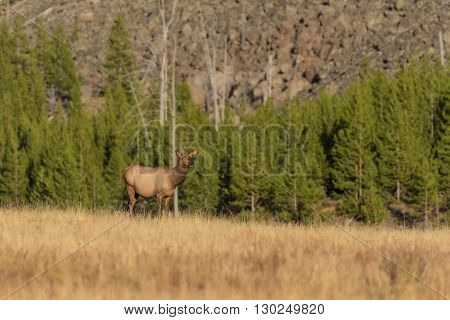 cow elk in mountain meadow in fall