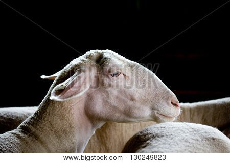 Sheep Head Over Black Background