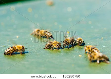 Honey bees foraging on the ground, looking for food.