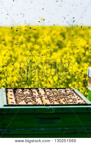 Beehives On Rapeseed Field With Bee Swarm