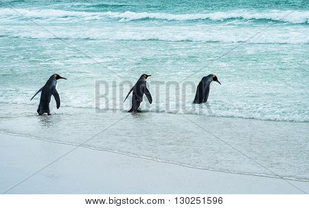 3 Emperor Penguins going for a swim in the Atlantic Ocean off the Falkland Islands, South Americ a.