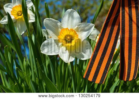St. George ribbon and narcissus - a symbol of Victory Day.