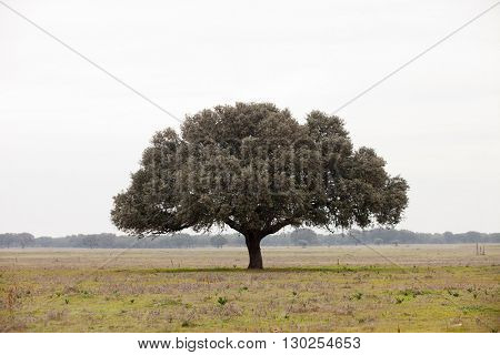 Oak holms, ilex in a mediterranean forest. Landscape in Extremadura center of Spain